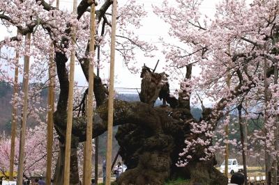 「神代桜」 歴史の重みを感じます!