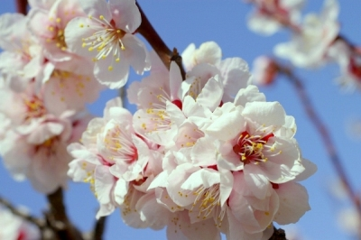 青い空に咲く梅の花