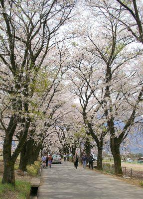 さね原の桜並木