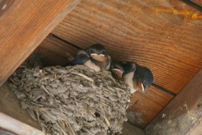軒下のツバメの巣