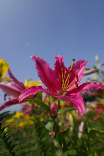鮮やかな百合の花