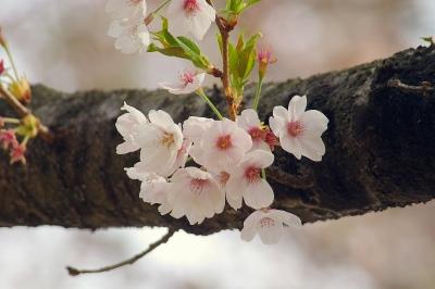 桜 がんばれ!